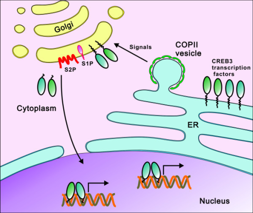 Activation of membrane-bound transcription factors of the CREB3 subfamily. CREB3 subfamily proteins are anchored to the ER membrane in an inactive form when they are not stimulated. Only upon stimulation, the CREB3 subfamily proteins are translocated by COPII vesicles from the ER to the Golgi apparatus where they will encounter S1P and S2P proteases. They are cleaved to release the N-terminal fragments which will enter the nucleus to activate transcription of target genes. CREB3 subfamily proteins might work as homodimers or heterodimers in the nucleus to activate gene expression.