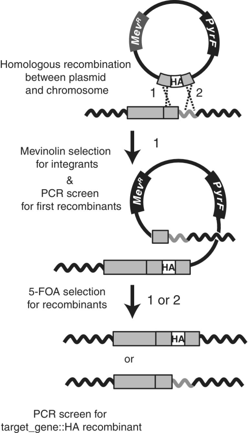 Epitope tag-in approach for Hb. NRC-1. The Hb. NRC-1 ΔpyrF strain is transformed with a plasmid containing the mevinolin-resistance determinant (MevR; dark gray box) and the pyrF gene (black box) that confers 5-FOA sensitivity. The plasmid carries an engineered sequence containing the HA epitope sequence (white box) flanked by the last 500 bp of the target gene and the 500 bp downstream of the target gene (light gray boxes). Plasmid sequence is shown as solid line, chromosomal sequence is shown as solid, wavy lines. Cross-over can occur between target gene (light gray box) and flanking sequence (gray wavy line) in the chromosome and the homologous regions in the plasmid sequence, at either position 1 or 2 (position 1 example shown). PCR screening of mevinolin-resistant colonies is used to determine successful first recombinants. Subsequent plating on 5-FOA selects for second recombinants (via counter-selection with the pyrF gene). In this example, a second cross-over at site 2 produces the desired chromosomally integrated recombinant target_gene::HA fusion. PCR screening of these colonies is required to distinguish this desired second recombinant from a second recombinant occurring at position 1. Drawing is not to scale.