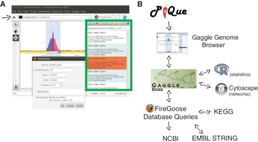 The Pique software package processes ChIP-seq coverage data to predict protein-binding sites. Strand-specific coverage data are output as tracks for the Gaggle Genome Browser, and putative-binding sites (peaks) are output as 'bookmark files'. (A) Screenshot of data browsing in the Gaggle Genome Browser. Green box outlines the navigation window for clicking through bookmarks of predicted binding sites. Details of each site can be displayed (inset). The Gaggle toolbar (shown with black arrow) can be used to broadcast selected data to other 'geese' in the gaggle package, programs such as R, cytoscape, BLAST or KEGG. (B) Schematic overview of bioinformatics workflow.