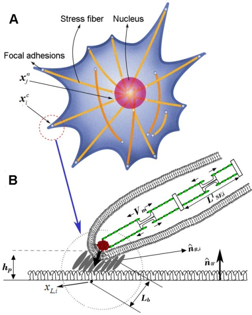 Incorporation of key mechanisms of cell biology.3-D integrated cell migration model A) schematic representation of cell migration model on the planar substrate, showing deformable cell and nuclear membranes, focal adhesions, and actin SFs, B) a magnified view in A) showing the structure of focal adhesion including the attachment of the end of SFs through an integrin node to the underlying extracellular matrix, illustrating a stochastic ligand-receptor bonding process at the focal adhesion site, and showing the structure of actin SFs. Note that, A) and B) represent top and side views, respectively.