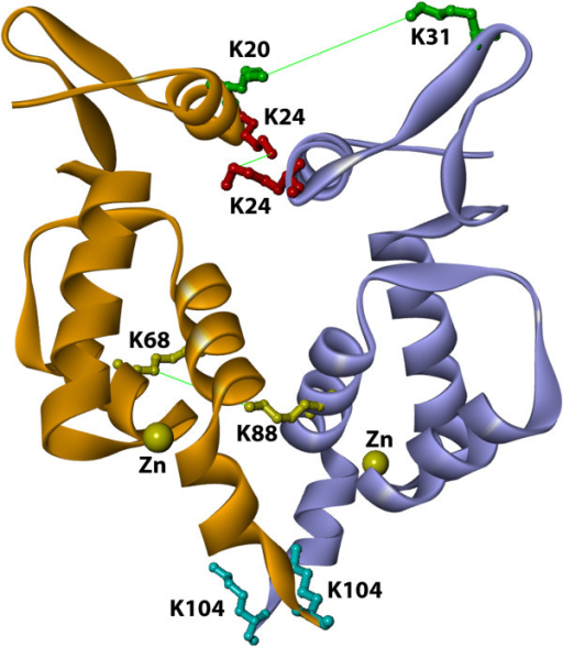 Modeling of dimer conformation of N-terminal domain of Mo-MLV integrase. Visualization of intermolecular crosslinking products with Swiss-PdbViewer of the dimeric interfase of NTD of Mo-MLV integrase (3NNQ pdb template, experimental crosslinking strain and 3D-Dock suite used for model). The amino acid involved in the crosslinking and its distances are indicated K31-K20 (green 20.02 Å), K24-K24 (red 15.14 Å) and K88-K68 (yellow 13.57 Å), all of them are in agreement with the spacer arm of BS3. K104 (light blue) and zinc atoms (yellow) are also indicated.