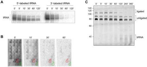 The CCA sequence at the 3′-termini of all tRNAs is first cleaved by angiogenin in vitro.(A) Angiogenin (1 µM) digestion of total HeLa tRNA radioactively labeled at either 5′- or 3′-end. (B) 3′-radioactively labeled HeLa tRNAs treated with 1 µM angiogenin for different times and their intact 3′-termini were visualized with tRNA macroarrays. Only tRNAs (or fragments of them) with intact 3′-ends are visible on the microarrays. Two exemplary tRNAs (Ala-IGC, green and Gln-yTG, red) are marked. Probes for each tRNA are arranged in clusters of six replicates. (C) Analysis of the integrity of the 3′-CCA end of full-length tRNAs with the specific oligonucleotide-ligation approach after angiogenin (0.2 µM) treatment for various times. The gel was visualized with SYBR Green. Note, to better resolve the kinetics of cleavage we decreased the concentration of angiogenin to 0.2 µM; thus the time points here are not directly comparable with the time points in panels A, B. The numbers on the left denote the DNA ladder in nt. Multiple bands for tiRNAs, full-length tRNAs, ligated and unligated tRNAs are detected (panels A and C) due to the natural variations in tRNAs length.