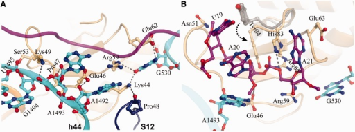 Interactions at the catalytic site (A) Interactions of YoeB with ribosome at the decoding center. The mRNA is shown as ribbon colored magenta. The residues in YoeB within hydrogen-bonding distance to ribosome are indicated by dashed lines. (B) Active site of YoeB surrounded by the A-site codon. Catalytic residues Glu46 and His83 are within hydrogen-bonding distance to their reaction atoms, indicated by dashed lines. Compared with isolated YoeB colored gray, conformational change of C-terminal tail of YoeB (particularly Tyr84) was shown by an arrow.