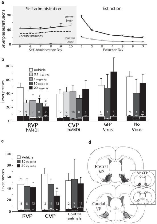 Effects of inactivating rostral or caudal VP on reinstatement of cocaine seekinga) Daily m±SEM cocaine infusions and active/inactive lever presses for the last 6 days of criterion self- administration (>10 infusions/day), and active/inactive lever presses for the first 7 days of extinction training. b) Active lever presses during cue-induced reinstatement following different doses of the DREADD agonist clozapine-n-oxide (CNO; dose=bar color; vehicle, 0.1, 1, 10, 20 mg/kg), in animals with bilateral RVP or CVP Syn-hM4Di-HA-GFP virus, bilateral VP control virus (Syn-GFP), or no virus expression. Inactive lever presses during reinstatement are shown with overlaid black bars. *Vehicle vs. 10 mg/kg CNO: p=0.001, vehicle vs. 20 mg/kg CNO: p=0.015. c) Active and inactive lever presses during cocaine primed reinstatement following different doses of CNO (Vehicle, 10, 20 mg/kg), in animals with RVP or CVP Syn-hM4Di-HA-GFP virus, or controls (Syn-GFP or no virus expression animals). *Vehicle vs. 20 mg/kg CNO: p=0.008. Bars and lines=m±SEM. d) The anatomical localization of virus expression sites (as visualized with HA or GFP immunoreactivity) is represented for animals injected with Syn-hM4Di-HA-GFP in RVP (black) or CVP (grey), or Syn-GFP (grey; inset).