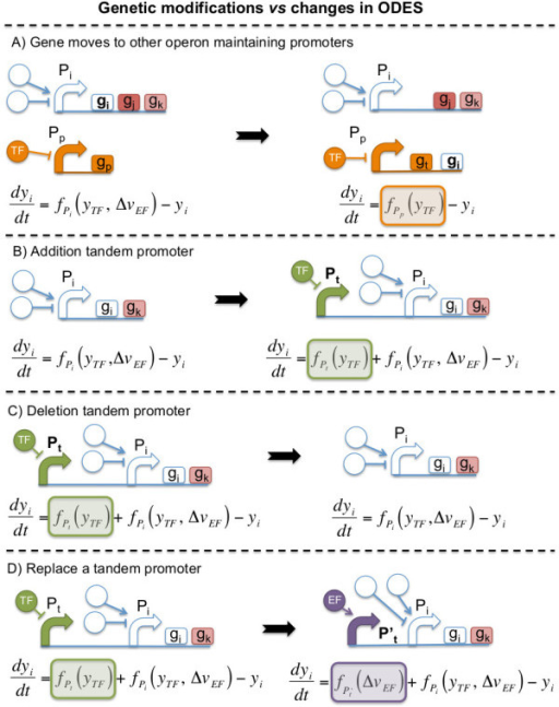 "Four types of transcriptional modifications during the optimization process that affect the gene expression of the ith gene. (A) a gene moves to other operon, (B and C) addition or deletion of tandem promoters, and (D) replace a tandem promoter (see Methods section named ""Automatic genome design: rules for mutation and selection""). All genetic perturbations are represented by the regulatory scheme with their corresponding ODE before (left) and after (right) the genome modification. Color boxes represent mathematical terms added or removed from the ODEs to simulate gene expression of the ith gene after the genetic modification."