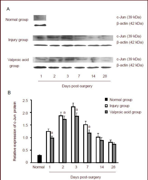 western blot assay for c jun protein expression in c5 open i