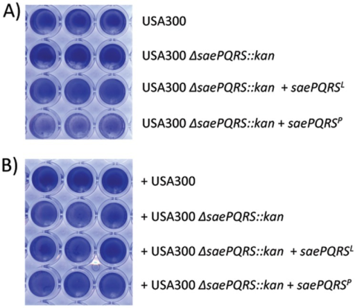 Strain-dependent production of the biofilm inhibitory protein.(A) Biofilm formation by strain USA300 FPR 3757 and derivatives. Wells were inoculated with the indicated USA 300 FBR 3757 derivatives. +saePQRSL and +saePQRSP indicate the presence of plasmids pCWSAE50 or pCWSAE51, respectively. (B) Anti-biofilm activity of USA300 derivatives. Culture supernatants from the strains listed to the right of the figure were tested for inhibition of biofilm formation by strain UAMS-1.