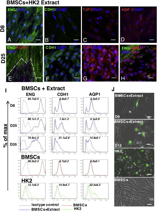 Antigenic Profile of Human BMSCs after HK2 Cell-Extract Treatment(A–H) Expression of ENG, CDH1, TJP1, and AQP1 in BMSCs treated with extract at D8 (A–D) and D25 (E–H). (H) High-magnification view of the expression of ENG and AQP1 at the edge of the epithelial colony presented in (E). Scale bar, 50 μm. Representative images of three independent experiments.(I) Representative FACS analysis of BMSCs treated with HK2 cell extract at different time points (D8, D25, and D35), and of untreated BMSCs and HK2 cells. Values are % of fluorescent cells (mean ± SD, n = 3 independent experiments).(J) Representative images of CDH1/EGFP-positive cells 24 hr after transfection (days 6 and 12). Untreated BMSCs and HK2 cells are also shown. Scale bars represent 50 μm (BMSCs + extract [D6, D12] and BMSCs) and 100 μm (HK2). Transfection was performed in two independent reprogramming experiments (n = 2 for each time point).See also Figure S1.