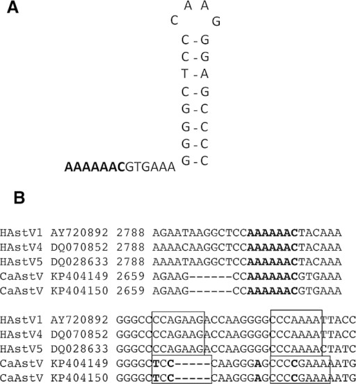 Analysis of ORF1a/1b −1 frameshift site. (A) Predicted structure of the −1 frameshift site, directed by a slippery heptamer sequence and a downstream stem loop structure. (B) Sequence alignment of CaAstV and a range of human astrovirus (HuAstV) isolates shows this region to be highly conserved. The slippery heptamer sequence is highlighted in bold, and the stem loop structure is boxed, with nucleotides in bold representing differences.