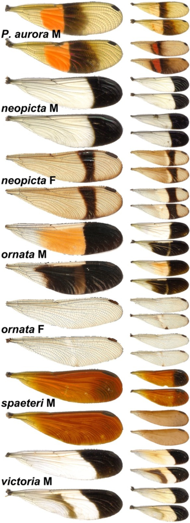 Examples of color polymorphism in Polythore taxa used in this study.For each wingform, the typical form is shown on the left, and extrema are shown on the right.