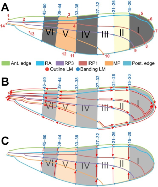 """Default wing"" used as a template for landmarking analysis of fore- and hindwings of Polythore wingform.The positions of six major bands (I–VI) are marked as the cross six longitudinal veins: anterior edge or costa (C), radius anterior (RA), second branch of radius posterior (RP2), third branch of radius posterior (RP3), media posterior (MP), and posterior edge (venation terminology per Riek & Kukalová-Peck (1984)). (A) LMs 1–14 are major morphological points representing the basic venation pattern (~outline) of the wing, and LMs 15–50 represent the proximal edges of the six bands. (C–D) red arrows depict protocol for ""collapsing"" LMs in (C) proximodistal and (D) anteroposterior directions in wings where bands are missing or do not extend the full width of the wing (see Methods text for full description)."