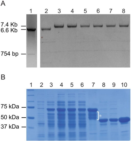 Expression of PL1332 proteins in Escherichia coli.A. Cloning of PL1332 cDNA and successful transformation of the expression vector. Lane 1: PL1332 cDNA pMAL-c2x expression vector after digestion with BamH1 and HindIII; Lane 2: empty pMAL-c2x vector; Lanes 3–8: recombinant plasmids purified from E. coli transformed with the expression construct. All plasmids in lanes 2–8 were digested with BamH1 while the plasmid in lane 1 was digested with BamH1 and HindIII. The clone shown in lane 3 was used for protein production. B. Expression of the maltose binding protein (MBP) and PL1332 fusion (MBP-PL1332) protein. Lane 1: protein markers; Lane 2: total crude extract before IPTG induction; Lane 3: total crude extract after IPTG induction; Lane 4: total crude extract; Lane 5: supernatant of the lysate; Lane 6: flow through; Lane 7: purified protein. Expected size of the MBP-PL1332 in lanes 2 through 7 was 68 KD and smaller bands marked with an asterisk are degraded fusion proteins; Lane 8: total crude extract of MBP protein; Lane 9: supernatant of the lysate; Lane 10: purified MBP. Expected size of MBP protein in lanes 8 through 10 was 42.5 KD.