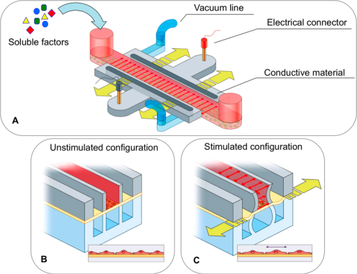Design of the microfluidic platform developed to investigate the biological cell responses to various stimuli.A) Schematic view of the device for applying electrical, mechanical and chemical stimulations. The central channel (in red) is the media channel to provide nutrients and soluble factors to cells. The pneumatic channels (in light blue) perform mechanical stimulation by stretching the PDMS membrane (yellow arrows) where the cells are cultured. The electrical layer contains two conductive regions composed of a mixture of CNTs and PDMS (in light gray), which are connected to the stimulator through two external gold-coated connectors (in red and black). The uniform electric field across the cell culture region is represented by the red arrows. (B) Cross section of the device in the unstimulated configuration. (C) Cross section of the device in the electromechanical stimulated configuration. Applying vacuum in the two lateral pneumatic channels (in light blue) allows stretching of the cells on the deformable membrane (in yellow).