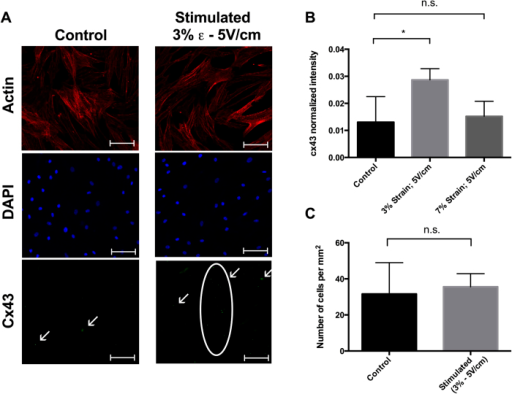 Immunofluorescence data.(A) Actin cytoskeleton, nuclei, and CX43 expression in control and electromechanically stimulated devices at 3% strain and 5 V/cm electrical stimulation. Scale bar is 100 μm. (B) Quantification and statistical analysis of the CX43 fluorescence intensity under three different conditions: control, 3% strain with 5 V/cm electrical stimulation, and 7% strain with 5 V/cm electrical stimulation. Data are expressed as means ± SD. Two-tailed t-test, *p < 0.05. (C) Cell density after 14 days of culture in control and stimulated devices (3% strain and 5 V/cm). Data are expressed as means ± SD.