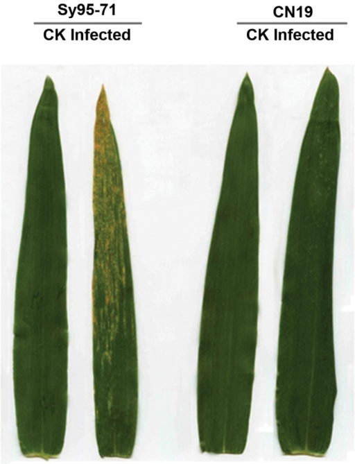 Stripe rust disease symptoms at 14 days post inoculation (dpi) on the susceptible (Sy95-71) and resistant (CN19) wheat cultivars at the adult plant stage. CK, un-inoculated leaves.