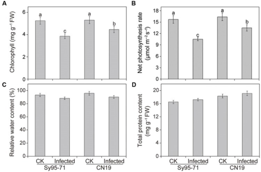 Chlorophyll (A), net photosynthetic rate (B), relative water content (RWC) (C), and total protein content (D) in inoculated and un-inoculated leaves of Sy95-71 and CN19. Error bars represent the standard deviation based on three biological replicates. Different letters depict significant differences between the susceptible and resistant wheat cultivars (P < 0.05). Statistical analysis was performed using one-way ANOVA followed by Duncan's multiple range test. CK, un-inoculated wheat plants.