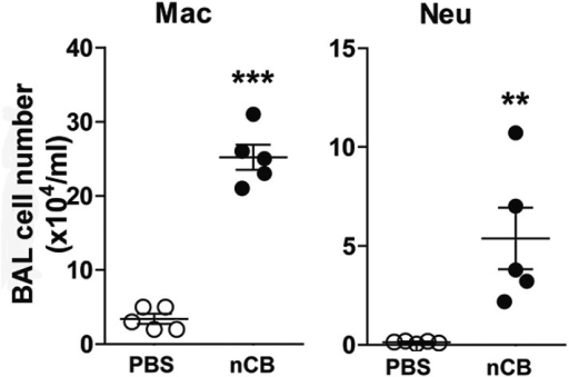 nCB-induced immune cell infiltration persists in the lungs.BAL fluid analysis of the mice rested for 7 month after the last nCB or PBS challenge showing the cell number of macrophages (Mac) and neutrophils (Neu). ***p < 0.001, **p < 0.01 as determined by the Student's t-test, and data are mean ± SEM.DOI:http://dx.doi.org/10.7554/eLife.09623.009