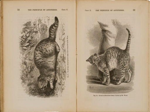 <p>Image of facing pages (p. 58-59) from The expression of the emotions in man and animals / by Charles Darwin. London : John Murray, 1872. P. 58 shows illustration of cat in hostile posture with arched back and baring teeth. P. 59 shows illustration of cat in affectionate pose, rubbing against person's leg.</p>
