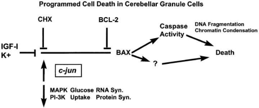 Diagrammatic representation of the events associated  with programmed cell death in cerebellar granule cells.