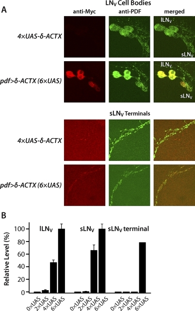 Immunofluorescence Detection of Membrane-Tethered δ-ACTX-Hv1a in PDF-Secreting LNV Clock NeuronsAdult brains of pdf>δ-ACTX-Hv1a flies possessing the indicated number of UAS transgenes and the pdf-GAL4 transgene, or flies only possessing the indicated number of UAS-δ-ACTX-Hv1a transgenes, were processed for immunofluorescence with anti-Myc and anti-PDF antibodies to visualize both Myc epitope-tagged membrane-tethered δ-ACTX-Hv1a and PDF neuropeptide.(A) pdf>δ-ACTX-Hv1a (6×UAS) flies exhibit red anti-Myc immunofluorescence in the cell bodies of small LNVs (sLNVs) and large LNVs (lLNVs), sLNV dorsomedial terminals, and lLNV projections to the opposite optic lobe (not shown in this figure). Anti-Myc immunofluorescence colocalizes with green anti-PDF in the cell bodies of PDF neurons. Red anti-Myc immunofluorescence exhibits punctate staining throughout the sLNV terminals.(B) Bar graph demonstrates the dose-dependent expression of δ-ACTX-Hv1a in the lLNVs and sLNVs (p < 0.001; ANOVA Tukey-Kramer multiple comparisons). The intensity level (mean ± SEM) of anti-Myc labeling in the lLNVs and sLNVs is normalized to the intensity level in flies with six copies of UAS-δ-ACTX-Hv1a expressed with pdf-GAL4 driver. Bar graph for sLNV terminals represents percentage of brain hemispheres exhibiting anti-Myc staining in the sLNV terminals.