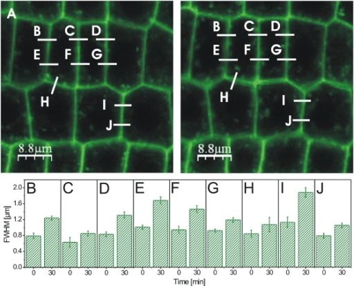 BL-induced expansion of the GFP fluorescence signal in BRI1-GFP expressing root tip cells.(A) Confocal image of root tip tissue before (left) and 30 min after addition of 10 nM BL (right). Fluorescence intensity curves were recorded over the plasmalemmata-cell wall sections indicated by the white, alphabetically numbered lines and the FWHM values of their Gaussian fits calculated before and 30 min after addition of BL. (B–J) FWHM values of the plasmalemmata-cell wall sections indicated in A before (0 min) and 30 min after addition of 10 nM BL. For the determination of the FWHM error in B to J see Material and Methods. For the statistical analysis of the BRI1-GFP fluorescence measurements see Table S2.