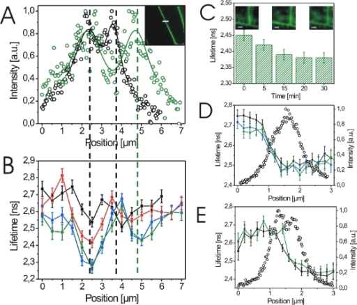 BL-induced cell wall expansion is paralleled by changes in the BRI1-GFP fluorescence lifetime.(A) BL-induced cell wall expansion of BRI1-GFP expressing hypocotyl cells from Arabidopsis seedlings before (black circles) and 30 min after (green circles) hormone application. The fluorescence intensity was recorded over a 7.0 µm section as indicated by the white line in the confocal image inlet. (B) Fluorescence lifetimes of BRI1-GFP in the identical plasmalemma-cell wall section shown in A before (black squares), 10 (red squares), 20 (blue squares) and 30 min (green squares) after addition of 25 nM BL. The minima in the lifetime curves correspond to the maxima in the intensity profiles shown in A as indicated by the dashed lines. (C) Fluorescence lifetimes of BRI1-GFP in root tip cells 0 to 30 min after application of 25 nM BL. Lifetimes were obtained by integrating over all recorded pixels of the confocal image. (D) GFP fluorescence lifetime (filled squares) and the corresponding intensity profile (open circles) recorded over a 3.0 µm plasmalemma-cell wall section of a BRI1-GFP expressing hypocotyl cell before (black squares), 15 min (blue squares) and 30 min (green squares) after onset of mock treatment. (E) GFP fluorescence lifetime (filled squares) and the corresponding intensity profile (open circles) recorded over a 3.0 µm plasmalemma-cell wall section of an aquaporin-GFP expressing hypocotyl cell before (black squares) and 30 min (green squares) after application of 25 nM BL. For the calculation of the lifetime values and error bars see Material and Methods. The experiments in B and C were repeated three times using cells from three independent seedlings. Representative results are shown. The results of the additional BRI1-GFP lifetime measurements along plasmalemma-cell wall sections are presented in Figure S2.