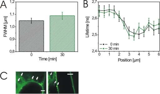 BL-induced wall expansion and changes in BRI1-GFP fluorescence lifetime require a functional intracellular trafficking system.(A) FWHM values of GFP intensity profiles recorded over a 4.0 µm plasmalemmata-cell wall section of hypocotyl cells from BRI1-GFP expressing Arabidopsis seedlings in the presence of 50 µM BFA before (0 min) and 30 min after application of 10 nM BL. For the determination of the FWHM error see Material and Methods. (B) Fluorescence lifetimes of BRI1-GFP in the identical plasmalemma-cell wall section shown in A in the presence of 50 µM BFA before (black squares) and 30 min (green squares) after addition of 25 nM BL. For the calculation of the lifetime values and error see Material and Methods. (C) Confocal images of hypocotyl cells treated with 50 µM BFA. The BFA compartments are indicated by white arrows. The white bars represent 6 µm (left) and 10 µm (right). The experiments in A and B were repeated four times using cells from four independent seedlings. One representative result is presented. The results of additional measurements are shown in Figure S3.