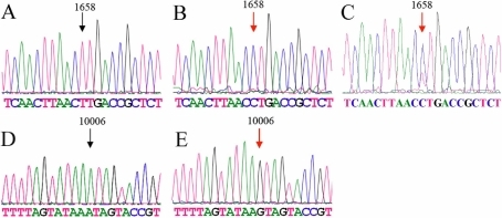 mt tRNA sequence results from the affected subject (Mutant) and the control (Wild type). A, B, and C: T1658C mutation (A: Wild type, B: Mutant, C: T/C Heteroplasmy). D and E: A10006G mutation (D: Wild type, E: Mutant). Arrows indicate the nucleotide changes.