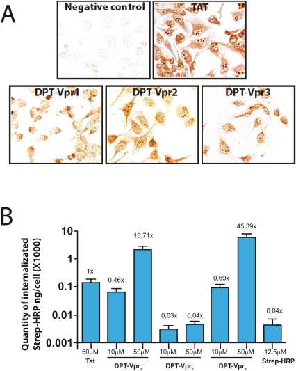 Effect of DPT-Vpr peptides on cell penetration and intracellular delivery of streptavidin-peroxydase.(A) For penetration and localization analysis, cells were incubated with 150 µM of peptides for 2 h at 37°C. After fixation, the presence of biotinynlated peptides is revealed by incubation of permeabilized cells with streptavidin-peroxydase. The sequence of non penetrating peptide used as negative control is GVIFYLRDK. The sequence of positive Tat control is YGRKKRRQRR. (B) Intracellular delivery of streptavidin-peroxydase by biotinylated-DPT-Vpr and Tat peptides in HeLa cells. Streptavidin-peroxydase coupled with biotinylated peptides were incubated for 6 h at 37°C and internalized complexes were visualized by a colorimetric test. Statistical analysis was carried out using Anova's test and significance was assessed at p<0.0001.