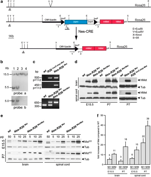 Temporal and tissue-specific Met transgene activation using Cre-mediated recombination. (a) The R26LacZ−stop−Met construct targeted in the Rosa26 locus is shown. The targeting construct consists of the CMV-enhancer and the chicken β-actin promoter (CMV/β-actin) driving the β-geo reporter and a Met chimeric cDNA. The reporter gene is followed by three copies of the SV40 polyadenylation signal (3xpA) and flanked by loxP sites. The Met chimeric cDNA consists of a 5′ portion encoding the mouse extracellular domain fused to a 3′ region coding for the intracellular human portion. Positions of the probes used for Southern analysis (a and b) as well as primers used for PCR (1, 2, 3) are indicated. (b) Southern blots of neo-resistant ES clones analyzed with probe a (EcoRI digestion; top) and probe b (EcoRV digestion; bottom). The 15.5 Kb band corresponds to the wild-type allele whereas the 5.5 Kb band depicts the recombinant allele in clones 1 and 2. (c) PCR of mouse-tail genomic DNAs showing the mutant allele before and after Cre recombination (top). The presence of an amplicon in the Nes-R26Met mice with the 1+2 primers is detected because genotypes are performed using DNA extracted from tails, which include tissues with and without recombination. PCR showing the genotypes of heterozygous and homozygous Nes-R26Met mice (bottom). (d) Western blots showing the expression of the Met chimeric protein (using anti-human Met antibodies) in brain and spinal cord extracts from embryos (E15.5) and newborn mice (P7) with the indicated genotypes. (e) Quantification analysis of Met chimeric protein levels versus endogenous Met. Western blot analysis of protein extracts from dissected brains and spinal cords at different developmental stages using antibodies recognizing the Met kinase domain (MetKD). (f) Quantification analyses revealed that levels of Met chimeric proteins were at least five- and sevenfolds increased in brains and spinal cords of heterozygous Nes-R26Met, respectively, when compared with the endogenous mouse Met. Met chimeric levels were double in homozygous mice. Numbers on columns indicate fold of increase in Met protein levels over the endogenous Met. In the graph, Nes-R26Met and Nes-R26Met/Met genotypes are indicated as M/+ and M/M, respectively. Values are expressed as means±S.E.M. Tub, tubulin; hMet, human-Met