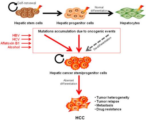 evolution of the cancer stem cell model pdf
