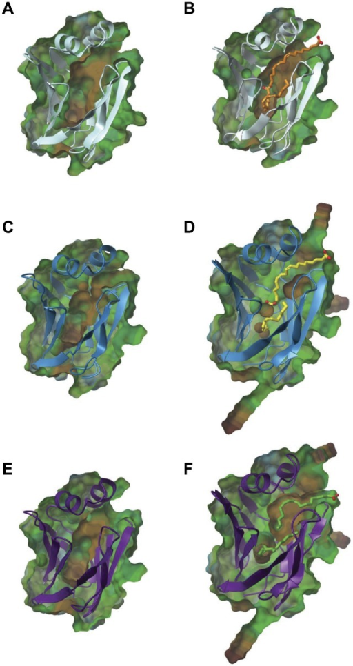 "The structural integrity of the binding pocket is significantly affected following 4-HNE adduction.Lipophilic surface maps were utilized to visualize ligand portals and the internal binding cavity of native and 4-HNE adducted L-FABP. Areas colored brown indicate more lipophilic sites of the protein, while the blue indicates more hydrophilic portions. Both apo (A) and holo (B) L-FABP have a well-defined binding area within the protein cavity. Upon 4-HNE adduction, it is clear that both the integrity and size of the binding pocket diminishes in the ""open chain"" apo (C), holo (D), and the HA structures (E,F)."