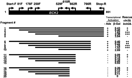 "Truncation analysis of the BCK2 gene.Fragments of the BCK2 gene (black bar) were amplified from genomic DNA using primer positions shown and designated as ""amino acid+F (Forward), or R (reverse)"". PCR products were cloned into a yeast two-hybrid vector to create BCK2 fragments fused to the N-terminal GAL4 DBD (DNA Binding Domain). High density growth spots (in either the ADE2 transcription activation assay or the complementation assay) were called ""+"", ""++"", or ""+++"" depending on extent of growth. A complete absence of growth was called ""−"". Numbers in the β-Gal column represent averaged quantities (per fusion protein) in Miller Units (U)."