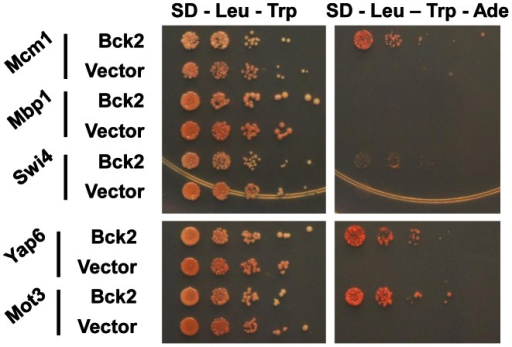 Bck2-interacting proteins identified in a genome-wide yeast two-hybrid screen.Yeast transformants carrying ADH1-GAL4 DBD (vector; LEU2) or ADH1-GAL4 DBD-BCK2 Fragment 11 (Bck2) in a two-hybrid bait strain (Y8930) were mated to yeast transformants of a two-hybrid prey strain (Y8800) bearing specific gene ORFs fused to the N-terminal GAL4 AD (activation domain; TRP1, i.e. ADH1-GAL4 AD-ORF plasmid). Diploids were selected by streaking on double plasmid selection medium (SD – Leu – Trp). Strains were grown to equivalent optical density, and spotted in serial 10-fold dilutions on double plasmid selection medium (SD – Leu – Trp) or medium where growth is proportional to transcription of the ADE2 gene (SD – Leu – Trp - Ade). Plates were incubated for 48 h at 30°C.