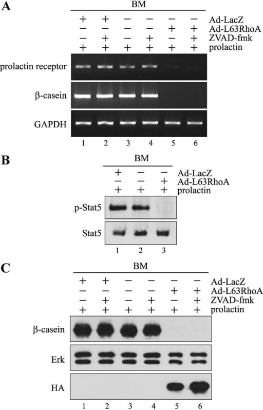 Constitutively active RhoA inhibits prolactin signaling in MECs cultured on BM. MECs cultured on BM were trypsinized, infected with adenovirus carrying HA-tagged constitutively active RhoA (Ad-L63RhoA) or LacZ (Ad-LacZ), and replated on BM for 24 h. A: Cells were then stimulated with 3 µg/ml prolactin in the absence or presence 100 µM ZVAD-fmk for 24 h. Total RNA was extracted, reverse transcribed, and PCR-amplified with primers for prolactin receptor, β-casein, and GAPDH. B: Cells were serum-starved for 8 h, and then stimulated with prolactin for 15 min. Cell lysates were analyzed by immunoblotting with antibodies to phospho-Stat5 (p-Stat5) and Stat5. C: Cells were stimulated with prolactin in the absence or presence ZVAD-fmk for 36 h. Total cell lysates were analyzed by immunoblotting with antibodies to β-casein, Erk, and HA. Levels of Erk were used as loading control.