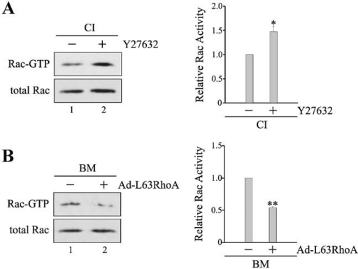 Application of Y27632 into MECs cultured on collagen I increases Rac activity, whereas expression of constitutively active RhoA in MECs cultured on BM decreases Rac activity. A: MECs cultured on collagen I (CI) were treated with 15 µM Y27632 for 12 h. B: MECs cultured on BM were trypsinized, mock-infected, or infected with adenovirus carrying constitutively active RhoA (Ad-L63RhoA), and replated on BM for 24 h. Cell lysates were incubated with GST-PAK1 p21-binding domain bound to glutathione-agarose beads to precipitate GTP-bound Rac. Total lysates and precipitates were then analyzed by immunoblotting using antibody to Rac. Immunoblots from three independent experiments were analyzed by densitometry. Relative Rac activity is indicated by the amount of Rac-GTP normalized to that of total Rac, and values are expressed as fold stimulation with respect to untreated cells or mock-infected cells. *P < 0.05; **P < 0.01.