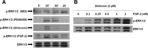 Effect of shikonin on the ERK pathway during the early stages of adipogenesis. (A) The time-dependent effect of PD98059 (10 μM), FGF-2 (1 nM), and shikonin (1 μM) on ERK 1/2 activity was analyzed by Western blotting. (B) The cells were treated with shikonin (2 μM) plus different doses of FGF-2. Cells were harvested at 10 min and examined with Western blotting as described in the Figure 2 legend.
