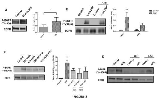 Effects of ATII on phosphorylation of EGFR.A, HEK293 cells stably transfected with AT1AR were serum starved for 5 hours followed by 100nM ATII for 10 min. Phosphorylation of EGFR on Thr-654 (P-Thr654) was determined by western blotting. Blots were stripped and reprobed for total EGFR to normalize for loading. B, HEK293 cells stably transfected with AT1AR were serum starved for 5 hours and treated with 5ng/ml of EGF for 5 min with or without 1 hour pretreated with 100nM ATII. Phosphorylation of EGFR on Tyrosine 1045 (P-Tyr1045) was determined by western blotting. The blots were stripped and reprobed for total EGFR to normalize for loading. C, HEK293 cells stably transfected with AT1AR were serum starved for 5hours and then pretreated with Gö6976, FIPI or vehicle followed with 100nM ATII or vehicle for 1 hour and then treated with 5ng/ml EGF for 5 min. P-Tyr1045 and EGFR were determined by western blotting. D, HEK293 cells stably transfected with AT1AR were serum starved for 5hours and then pretreated with Gö6976, 1-butanol or vehicle followed with 100nM ATII or vehicle for 5min, P-Tyr1068 and EGFR were determined by western blotting. For all figures, * p <0.05, ***p <0.001 from at least three independent experiments.
