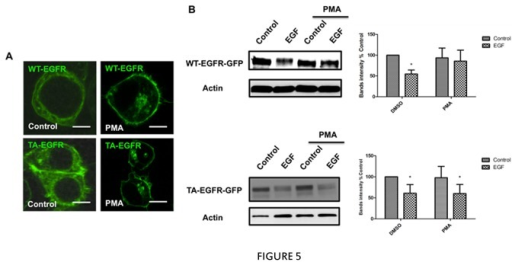 Effects of PMA on EGFR T654A mutant.A, HEK293 cells were transfected with WT-EGFR-GFP or TA-EGFR-GFP. 24 hours after transfection, cells were starved for 5 hours and then treated with 100nM PMA or vehicle for 1 hour. After fixation, cells were analyzed by confocal microscopy (ZEISS 510). B, HEK293 cells were transfected with WT-EGFR-GFP or TA-EGFR-GFP. 24 hours after transfection, cells were starved for 5 hours and then pretreated with 100nM PMA or vehicle for 1 hour followed by 5ng/ml EGF for 3 hours. The levels of EGFR, EGFR-GFP and actin were determined by western blotting. For all figures, * p <0.05, from at least three independent experiments.