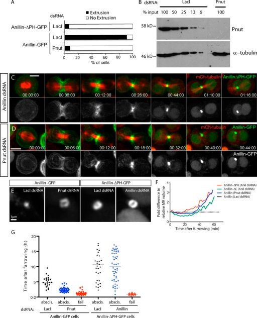 Proper maturation of the MR requires septin-dependent removal of Anillin via its C-terminal PHD. (A) Frequency of extrusion from time-lapse sequences of Anillin-ΔPH-GFP and of Anillin-GFP after 8-d Pnut RNAi. (B) Anti-Pnut immunoblot of S2 cell lysates serially diluted after LacI control dsRNA incubation or after Pnut dsRNA incubation; anti-tubulin is the loading control. (C) Time-lapse sequences of cells expressing Anillin-ΔPH-GFP depleted of endogenous Anillin. (D) Time-lapse sequence of an Anillin-GFP–expressing cell after 8-d Pnut RNAi. (E) Representative images of age-matched MR structures from Anillin-GFP or Anillin-ΔPH-GFP cells treated with the indicated dsRNAs. (F) Volume measurements of the nascent MR of cells expressing Anillin-ΔPH-GFP, Anillin-ΔC-GFP, or Anillin-GFP treated with the indicated dsRNAs, from the end of furrowing, normalized at each time point to equivalently aged Anillin-GFP controls (n = 10 per condition from two independent experiments). (G) Timing of abscission (abscis.) or furrow regression (fail) of Anillin-GFP cells treated for 7–9 d with LacI (control, n = 30) or Pnut dsRNAs (n = 75) and of Anillin-ΔPH-GFP cells treated for 3 d with LacI (control, n = 30) or Anillin dsRNAs (n = 75). Mean values are shown; data are from a single representative experiment out of three repeats. Times are given in hours, minutes, and seconds. Bars: (C and D) 5 µm; (E) 1 µm.