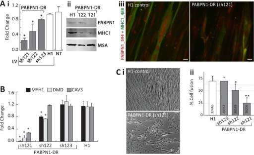 PABPN1-DR in human myotubes causes myogenic defectsHuman myotubes were transduced with shRNA specific to PABPN1 (sh121, sh122, or sh123) or H1 empty vector. Non-transduced (NT) cells were used as controls. (A) i Bar-chart shows PABPN1 mRNA expression in stably-transduced myoblasts. Fold change was normalized to GapDH housekeeping gene and to a non-transduced culture. Averages are of 6 biological replicates. ii Western blot analysis of PABPN1, MHC1 and muscle actin (MSA), as a loading control in sh121, sh122 or H1 myotube cultures. iii Immunofluorescence of PABPN1 (labelled with Alexa-594) and MHC1 (labelled with Alexa-488) in sh121 or H1 myotube cultures. Scale bar 10 μm. (B) Bar chart shows fold change of MHC1, DMD, and CAV3 in 121-, 122-, 123-, and H1- myoblast cultures. Fold change was normalized to GapDH and to a non-transduced culture. Averages are of 3 biological replicates. Significant down-regulation (P<0.05) is indicated with asterisks. (C) i- images of H1 controls and the PABPN1 down regulation sh121 fused cultures. Scale bar is 50 μm. ii- Chart bar shows the percentage of nuclei in fused myotubes that express MHC1 (cell fusion) in H1 sh123 sh122 or sh121 myotube cultures. Averages and SD are from six replicates and the number of nuclei that were quantified per sample is indicated within each bar. Significant effect in PABPN1-DR cultures from control cultures (P<0.05 or P<0.005) is indicated with one or two asterisks, respectively.