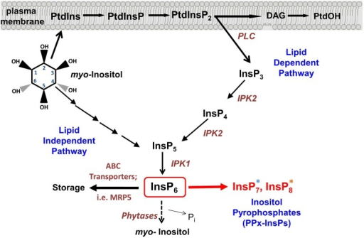 Synthesis of inositol pyrophosphate. Overview of the Inositol phosphate pathway, including both lipid dependent and lipid independent routes for synthesis of InsP6. Inositol Pyrophosphate (PPx-InsP) synthesis is indicated in red. Major lipid and inositol species are indicated in black and key enzymes are indicated in brown. A more detailed outline of PPx-InsP synthesis is depicted in Figure 2. The blue and orange asterisks correspond to the colored boxes in Figure 2.