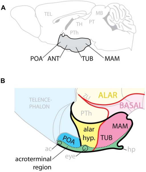 "Hypothalamic regions. (A) Conventional representation of the hypothalamus (gray) as ventral region with four rostro-caudal regions, POA, preoptic; ANT, anterior; TUB, tuberal; MAM, mamillary. (B) Model of the hypothalamus considering Shh expression (pink) as basal (ventral) marker. The POA is part of the telencephalon; the alar hypothalamus (yellow) corresponds to the anterior region; the tuberal and mamillary regions are not ""caudal"" but basal (ventral). ac, anterior commissure; hp, hypophysis; PTh, prethalamus; ZLI, zona limitans."