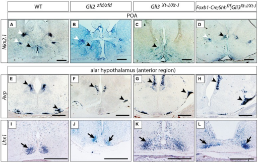 Either Gli2A or Gli3A is sufficient for the specification of the preoptic region and alar hypothalamus. (A–D)In situ detection of preoptic marker gene Nkx2.1 on E18.5 mouse brain sections, genotypes as indicated. Black arrowheads, preoptic neuronal nuclei; white arrowheads, additional telencephalic expression domains. (E–L)In situ detection of anterior marker genes on E18.5 mouse brain sections, markers and genotypes as indicated. Arrowheads in E–H indicate the supraoptic and paraventricular nuclei; arrows in I–L indicate the suprachiasmatic nucleus. Scale bars 500 μm.