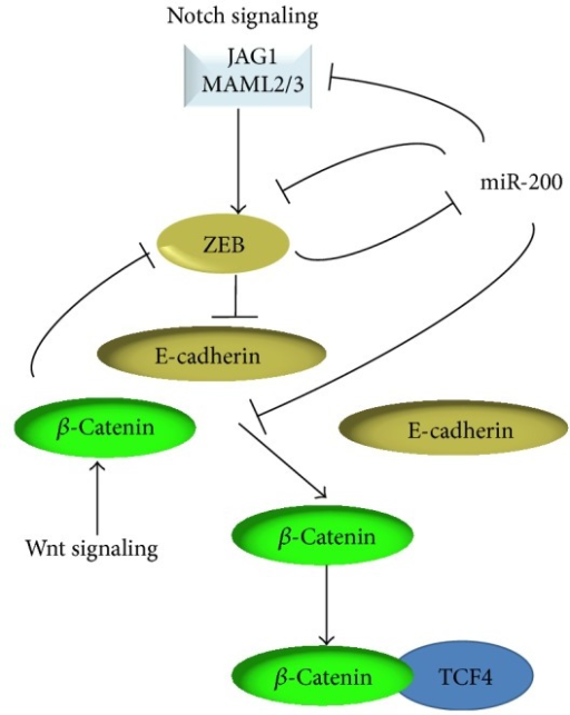 Regulation of the Notch and Wnt signaling pathways by miR-200.