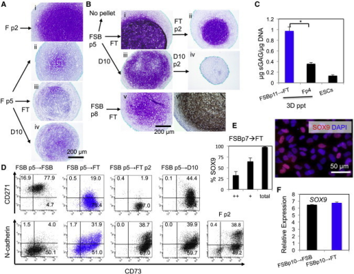 Pretreatment with TGFβ Facilitates Cartilage Particle Formation from the FSB-Expanded Ectomesenchymal Cells(A and B) Cartilage particle formation from the H9 hESC-derived ectomesenchymal cells maintained under F (A) or FSB (B) by 3D-pellet culture. Toluidine Blue staining (purple) of sections of the cartilage particles, except for (Bvi), which is COL2 immunostained (brown). Some cultures were passaged once or twice (p2) to FT (CDM plus FGF2+TGFβ3) (Aiii, Bi, Bii, Bv, Bvi), or D10 (Aiv, Biii, Biv), prior to pellet culture.(C) Capacity of sGAG production in cartilage particles. The ectomesenchymal cells cultured as indicated (→FT, passage to FT) were subjected to pellet culture and total DNA and sGAGs were quantified. Negative control: undifferentiated ESCs. ∗p < 0.05 (n = 3 independent cultures, one pellet/culture mean ± SD).(D) Upregulation of N-cadherin surface expression on the FSB-expanded ectomesenchymal cells during FT treatment. The ectomesenchymal cells maintained under F (Fp2) and FSB (FSBp5) were either passaged to FSB (→FSB), FT (→FT, FTp2), or D10 (→D10) or not passaged (Fp2), and then FACS analyzed.(E) Effect of FT treatment on SOX9 protein expression. FSB-expanded p7 ectomesenchymal cells followed by FT culture (i.e., p8) were treated and analyzed as in Figure 3D. Graph, n = 4 technical repeats, mean ± SD. Isotype control, Figure S4J.(F) Real-time RT-PCR analysis for investigating the effect of FT treatment on SOX9 gene expression (n = 3 technical repeats, mean ± SD).