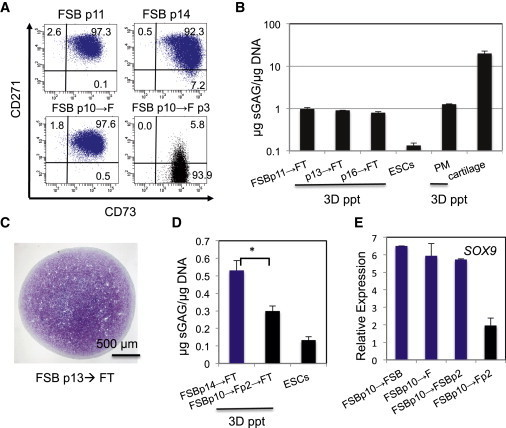 "The Long-Term Expanded Ectomesenchymal Cells Are Still Dependent on FSB(A) SB431542-dependent maintenance of CD271 expression. Ectomesenchymal cells maintained under FSB (p10) were either passaged one to three times to FSB again (p11, p14), or to FGF2 (→F, Fp3) and then FACS analyzed.(B) Maintenance of sGAG production capacity. The ectomesenchymal cells maintained under FSB for 11–16 passages followed by FT treatment, and the freshly isolated chondrogenic paraxial mesoderm (PM) (Umeda et al., 2012) were subjected to pellet culture. The capacity for sGAG production is displayed as in Figure 4C. Negative control, hESCs; positive control, bovine articular cartilage (n = 3 technical repeats, mean ± SD).(C) ""Full-cartilage""-forming capacity remained in the FSB-expanded p13 ectomesenchymal cells derived from CD271hiCD73− H9 progeny. Toluidine Blue staining.(D) SB431542-dependent maintenance of chondrogenic activity. The p10 ectomesenchymal cells were passaged to either FSB for four passages (FSBp14) or F for two passages (→Fp2) and then subjected to FT treatment and 3D-pellet culture. The capacity for sGAG production is displayed as in (B). ∗p < 0.05 (n ≥ 3 independent cultures, one pellet/culture, mean ± SD).(E) Real-time RT-PCR analysis for investigating the effect of FSB on maintaining SOX9 expression (n = 3 technical repeats, mean ± SD)."