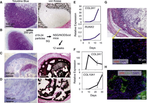 In Vivo Stability of Cartilage Particles Developed with the CD271+CD73+ Ectomesenchymal Cells(A–D) In vivo maturation of cartilage particles developed with the FSB-expanded CD271+CD73+ ectomesenchymal cells (C and D), generated from H9 hESC-derived CD271hiCD73− neural crest-like progeny in comparison with those developed with the freshly isolated KDR−PDGFRα+ paraxial mesoderm, derived from H9 hESCs under the CHIR99021-based 4i+P conditions (A) and from HES3 hESCs under the BIO-based 2i condition (B) (Umeda et al., 2012). Cartilage particles were transplanted into NSG mice (A, C, and D) and NODScid mice (B) subcutaneously for 12 weeks, recovered, fixed, sectioned, and stained with Toluidine Blue (cartilaginous area is in purple) and von Kossa (bony area is in black).(E and F) Cartilage gene expression during chondrogenesis cultures. The FSB-expanded p7 cells were subjected to 2D-micromass culture (E) or 3D-pellet culture (F) and then real-time RT-PCR (n = 3 technical repeats, mean ± SD).(G and H) Immunostaining with anti-human mitochondria (hMit) antibody. Sections of a bony particle made in (C) and (D) were stained with H&E (G) or stained with hMit antibody (pink, G and H) and anti-type I collagen (COL1) antibody (green, H), followed by counterstaining with DAPI (blue). Negative controls, Figures S4K and S4L.
