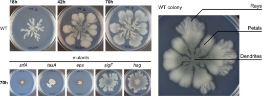 Colony expansion in wild type and biofilm-related mutants.Left: time course experiment of colony growth in WT and colony expansion in srfA, tasA, eps, sigF, and hag mutants, which are defective in producing surfactin, TasA, EPS, sporulation, and motility, respectively. Colonies are toothpick inoculated onto MSggN medium as described in the Materials and Methods. Right: WT colony after 70 h. The different regions of the colony are named: dendrites, petals, and rays.