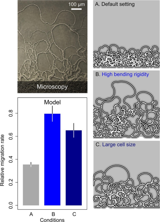 Model of filament growth and migration.Upper left: microscopy image of WT cells on the edge of the colony taken 18 h after inoculation. Lower left: relative migration rate for three parameter settings: (A) default parameter setting (grey), (B) high bending rigidity between cells (blue), and (C) large cell size (dark blue). Histograms and error bars show, respectively, mean and standard deviation (n = 10) in the extent of migration along the y-axis of the two-dimensional space (see images on the right; filament growth is initiated on the bottom). Right: filamentous loops at the end of the simulation for three representative runs, one for each of the three different parameter settings. See Materials and Methods for detailed model description and exact parameter settings (S2 Table).